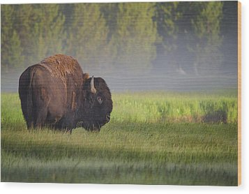 Bison In Morning Light Wood Print