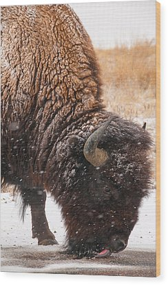 Bison In Snow_1 Wood Print by Tom Potter