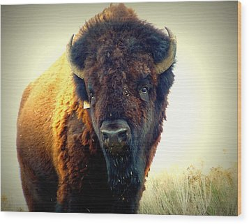 Bison On Antelope Island Wood Print by Heidi Manly
