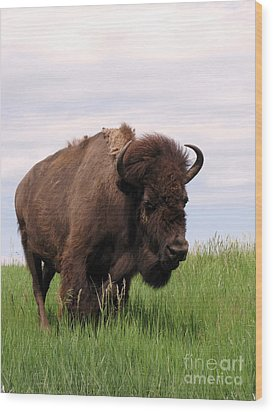 Bison On The Prairie Wood Print by Olivier Le Queinec