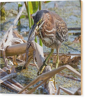 Wood Print featuring the photograph Green Heron Has A Frog In Its Throat by Phil Stone