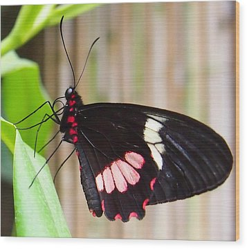 Black And Red Cattleheart Butterfly Wood Print by Amy McDaniel