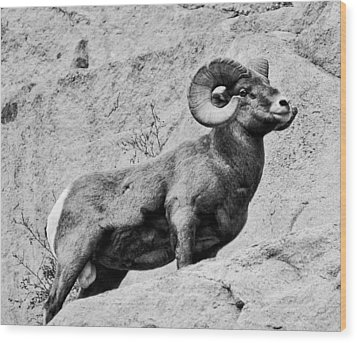 Black And White Bighorn Wood Print by Kevin Munro