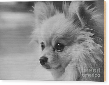 Black And White Portrait Of Pixie The Pomeranian Wood Print