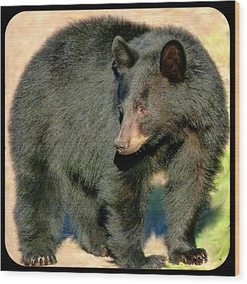 Black Bear 3 Wood Print by Will Borden