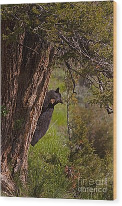 Wood Print featuring the photograph Black Bear In A Tree by J L Woody Wooden