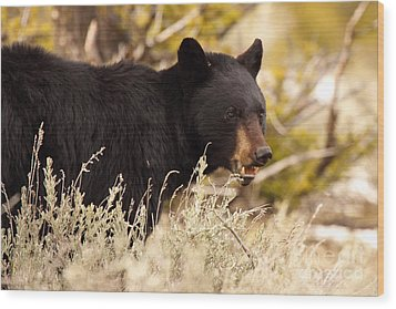 Wood Print featuring the photograph Black Bear Showing Teeth by Max Allen