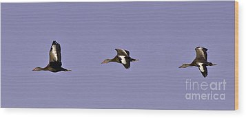 Black Bellied Whistling Ducks In Flight Wood Print by Anne Rodkin