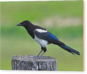Black Billed Magpie Wood Print by Karon Melillo DeVega