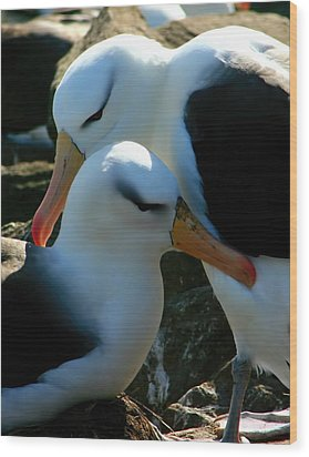 Wood Print featuring the photograph Black Browed Albatross Pair by Amanda Stadther