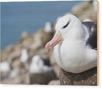 Black-browed Albatross (thalassarche Wood Print by Martin Zwick