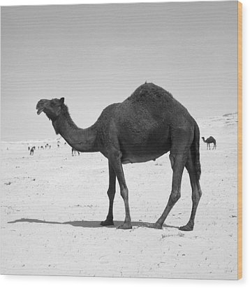 Black Camel In Qatar Wood Print by Paul Cowan