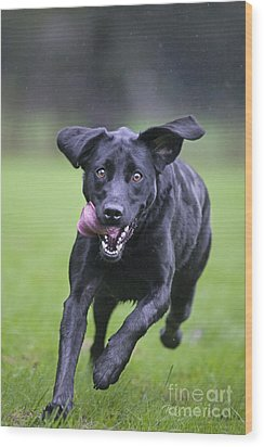Black Labrador Running Wood Print by Johan De Meester