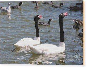 Black-necked Swans Wood Print by Carol Groenen