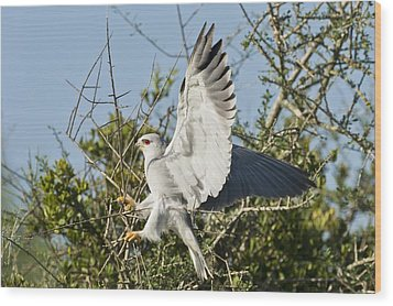 Black-shouldered Kite Wood Print by Science Photo Library