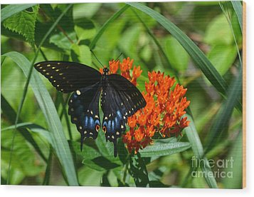 Black Swallow Tail On Beautiful Orange Wildlflower Wood Print by Peggy Franz