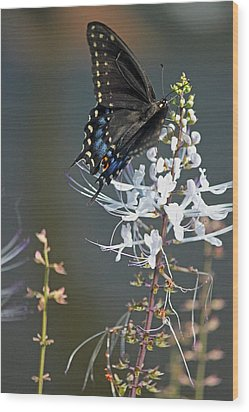 Black Swallowtail Among The Cats Whiskers Wood Print by Suzanne Gaff