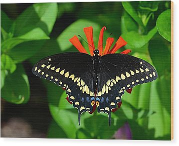 Black Swallowtail Butterfly Wood Print by Kathy Eickenberg