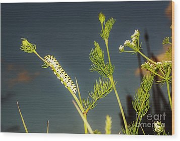 Black Swallowtail Caterpillar 2 Wood Print by Lynda Dawson-Youngclaus