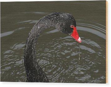 Black Swan Enjoying In Water Wood Print by R J