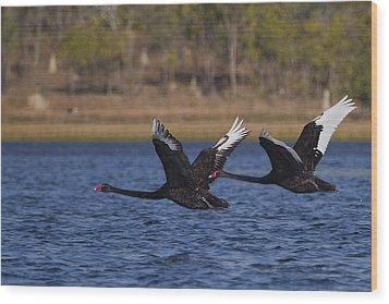Black Swans In Flight Wood Print by Mr Bennett Kent