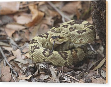 Black-tailed Rattlesnake Wood Print by Brian Magnier