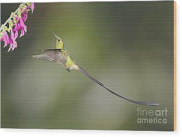 Wood Print featuring the photograph Black-tailed Trainbearer Hummingbird by Dan Suzio