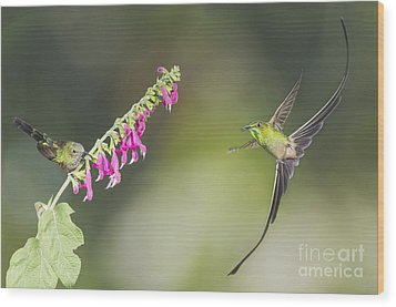 Wood Print featuring the photograph Black-tailed Trainbearer Hummingbirds by Dan Suzio
