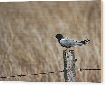 Wood Print featuring the photograph Black Tern by Ryan Crouse
