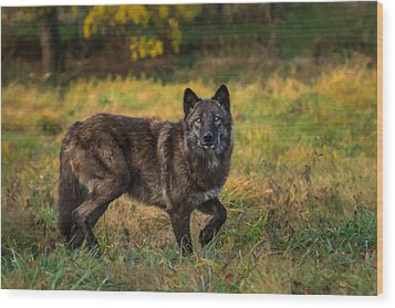 Black Wolf In Fall Colors Wood Print