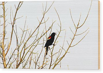 Blackbird Singing A Happy Tune Wood Print by Tina M Wenger