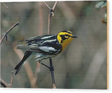 Blackburnian Warbler Wood Print by Doug Herr