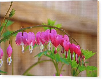 Graceful Arch Of Bleeding Heart Wood Print by Patti Whitten