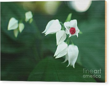 Bleeding Heart Vine Blossom Wood Print by Floyd Menezes
