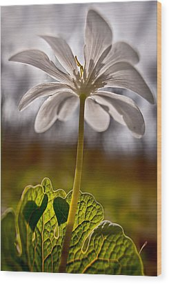 Bloodroot Wood Print by Robert Charity