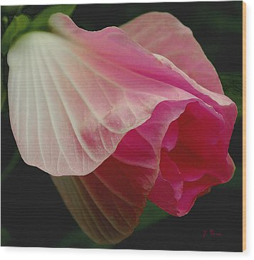 Blooming Hibiscus Wood Print by James C Thomas
