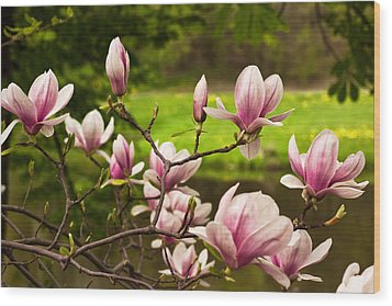 Blooming Magnolia Tree Wood Print
