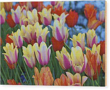 Wood Print featuring the photograph Blooming Tulips by John Babis