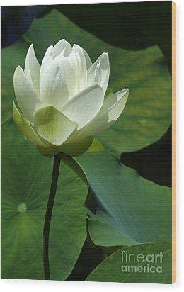 Blooming White Lotus Wood Print