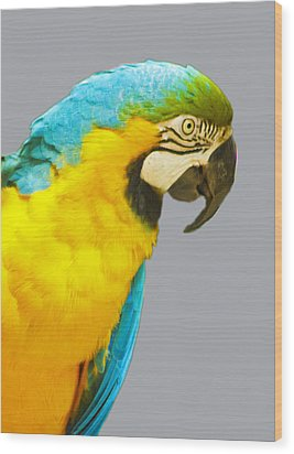 Blue And Gold Macaw Wood Print by Bill Barber