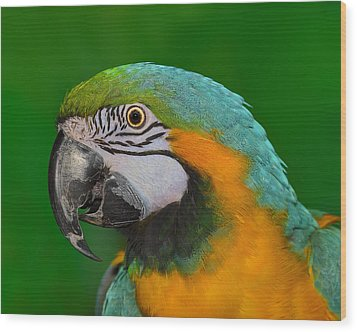 Blue And Gold Macaw Wood Print by Tony Beck