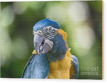 Blue And Gold Macaw V3 Wood Print by Douglas Barnard