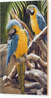 Blue And Yellow Macaw Pair Wood Print
