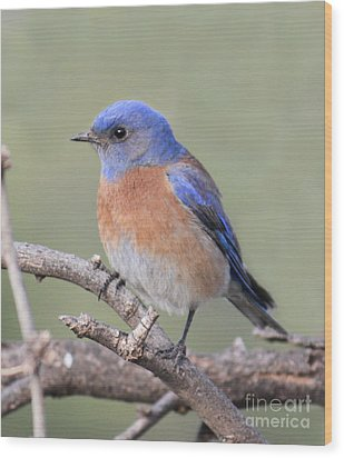 Wood Print featuring the photograph Blue Bird At Sedona by Debbie Hart