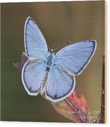 Blue Butterfly Square Wood Print by Carol Groenen