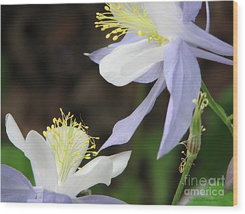 Wood Print featuring the photograph Blue Columbine by Roxy Riou
