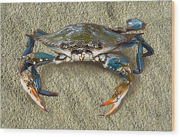 Blue Crab Confrontation Wood Print by Sandi OReilly