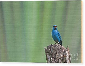 Blue Dacnis Wood Print