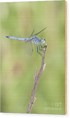 Wood Print featuring the photograph Blue Dasher by Bryan Keil