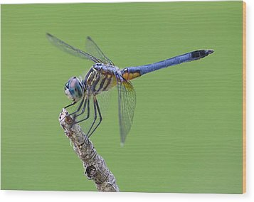 Blue Dasher Dragonfly Wood Print by Ester  Rogers